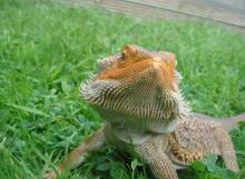 Dragon Barbus et gazon artificiel