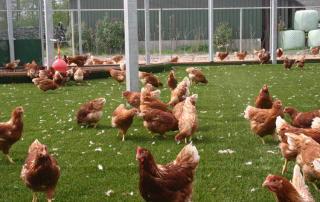 Gazon synthétique pour les poules