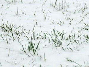 Neige: l'herbe est recouverte d'un manteau de neige