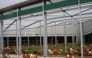 Pelouse synthétique pour poules
