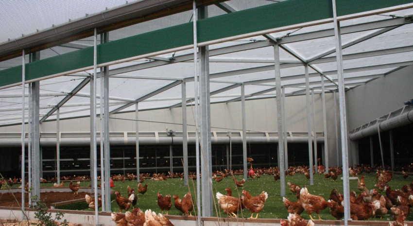poulailler 50 poules